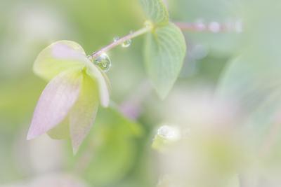 Dew Covered Oregano III