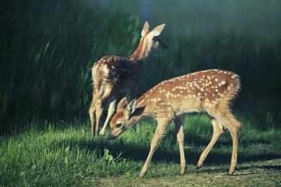 Bambi x 2