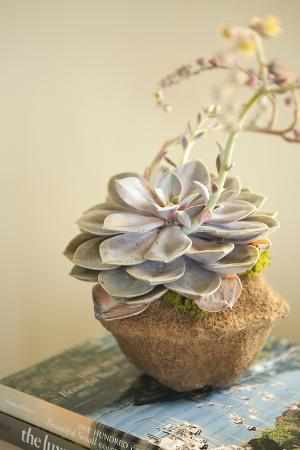 Small Succulent