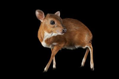 A Royal Antelope, Neotragus Pygmaeus, Smallest of All Antelopes, at the Los Angeles Zoo.