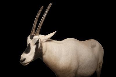 An Arabian Oryx, Oryx Leucoryx.