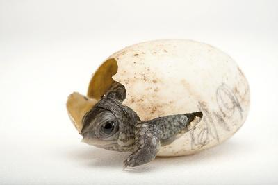 An Endangered Aquatic Box Turtle, Terrapene Coahuila, Hatches from His Egg.