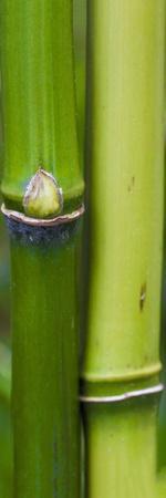 Bamboo, Close-Up