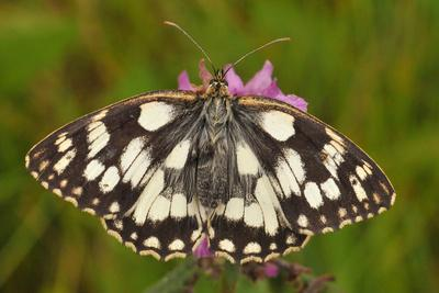 Western Marbled White Butterfly, Melanargia Galathea
