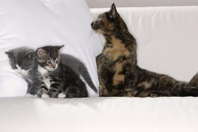 Sits Couch, Cats, Young, Curiously, Dam, Lying, Alertly, Animals, Mammals, Pets