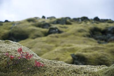Lava Field, Moss, Iceland