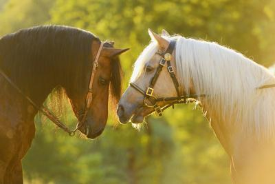 Connemara Pony, Portrait, Stallions, Side View