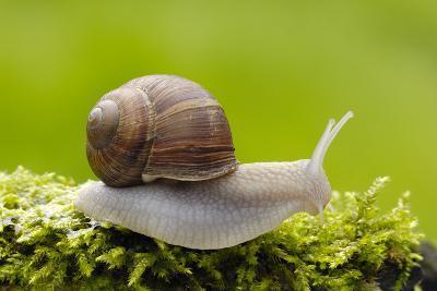 Snail, Helix Pomatia