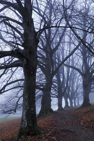 Trees, Black Poplars, Late Autumn