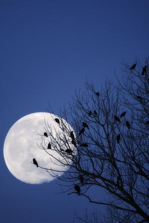 Birds, Crows, Silhouette, at Night, Moon