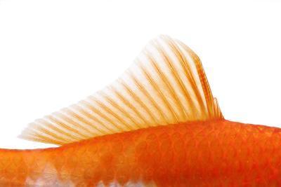 Goldfish, Dorsal Fin