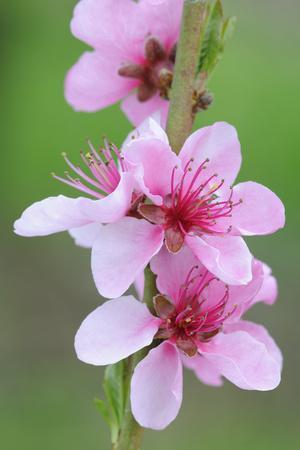 Peach-Tree, Fork, Blossoms, Detail