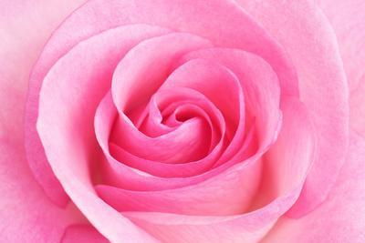 Rose Blossom, Pink, Close Up