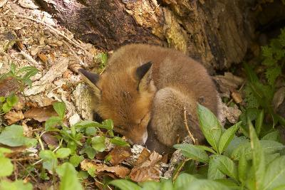 Fox, Vulpes Vulpes, Young, Sleeping, Nature, Fauna, Wildlife, Wilderness, Forest, Forest-Ground