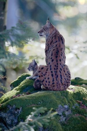 Forest, Eurasian Lynx, Lynx Lynx, Mother Animal, Watchfulness, Young Animal, Sitting, Back View