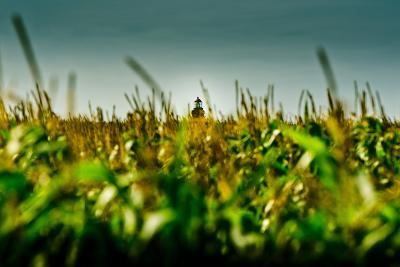 Germany, Schleswig-Holstein, Amrum, Corn Field, Lighthouse