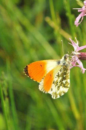 Orange Tip, Male, Cuckoo Flower, Ingestion