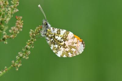 Orange Tip Butterfly, Male, Neutral Position