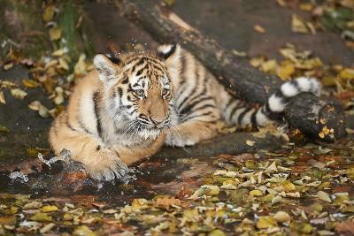 Siberian Tiger, Panthera Tigris Altaica, Young Animal, Side View, Lying, Looking at Camera