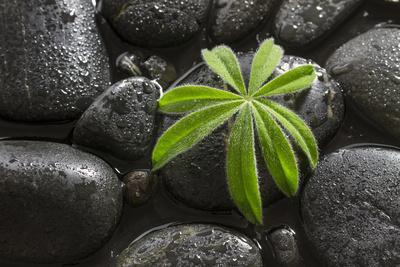 Leaf of a Lupin on Black Stones