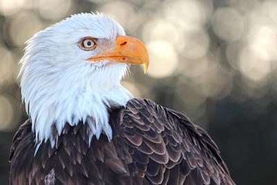 Bald Eagle, Haliaeetus Leucocephalus, Portrait