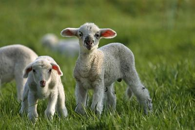 Merino Sheeps, Lambs