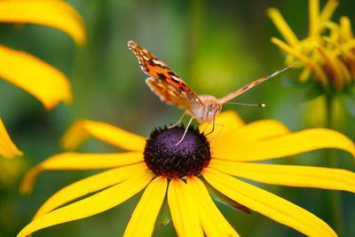 Blossom, Rudbeckia Fulgida, Butterfly, Vanessa Cardui