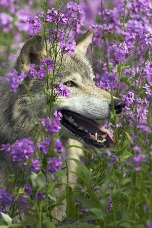 Gray-Wolf, Canis Lupus, Flower Meadow, Profile, Nature