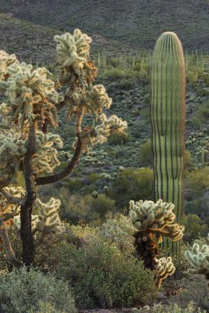 Carnegiea Gigantea, Saguaro Cacti, Hieroglyphic Trail, Lost Dutchman State Park, Arizona, Usa