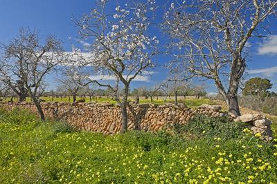 Europe, Spain, Majorca, Meadow, Yellow Flowers, Almonds