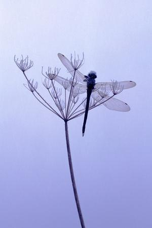 Dragonfly, Plant, [M