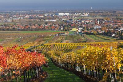 Autumnal Vines, Vineyards, PfaffstŠtten, Baden Near Vienna, Southern Vienna Basin