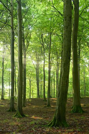 Sunrays in the Near-Natural Beech Forest, Stubnitz, Island R?gen