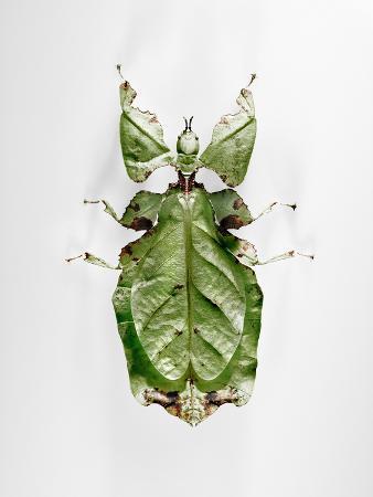 Wandering Leaf, Phyllium Giganteum, , Green, Female, Animal, Insect, Ghost Locust, Locust