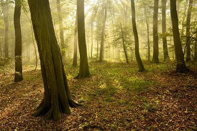 Germany, Saxony-Anhalt, Sunrays in the Morning Fog in the Deciduous Forest