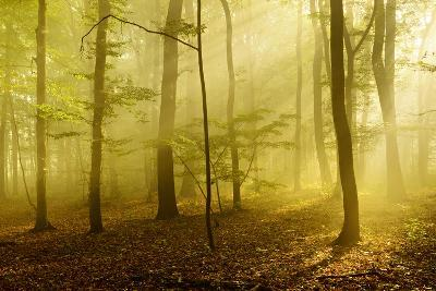 Sunrays in the Morning Fog in the Deciduous Forest, Near Freyburg, Saxony-Anhalt