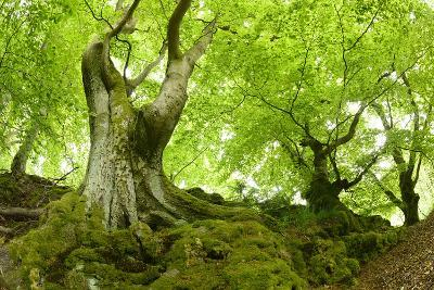 Old Adnate Beeches on Moss-Covered Rock, National Park Kellerwald-Edersee, Hesse, Germany