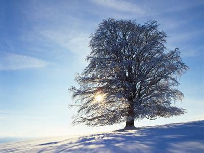 Copper Beech, Fagus Sylvatica, Snow-Covered, Back Light, Leafless