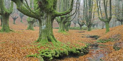 Beech Forest in the Gorbea Nature Reserve, Foliage, Moss, Brook, Basque Country, Spain