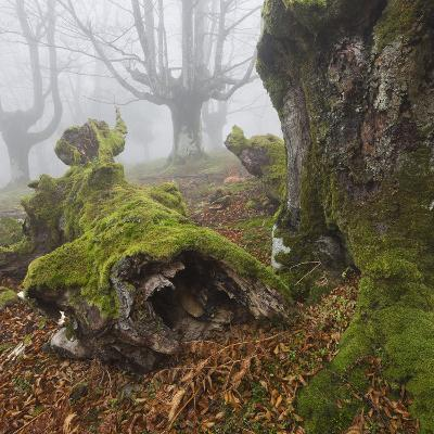 Beech Forest in the Gorbea Nature Reserve, Fog, Moss, the Basque Provinces, Spain