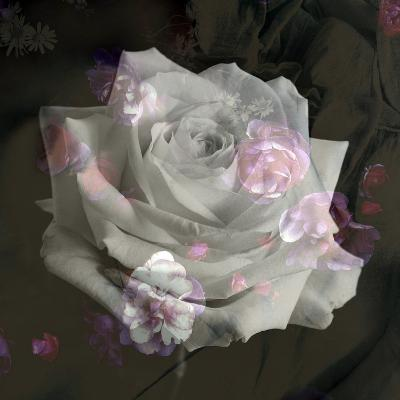 Composing, White Rose Layered with Pink Blossoms on Black Background