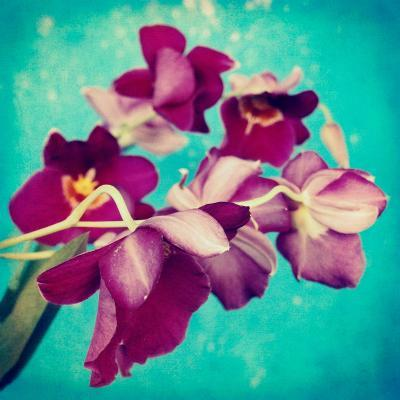Portrait of Purple Miltonia Orchid on Turqoise Background