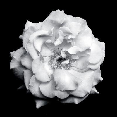 Blossom of a White Garden Rose on Black Background