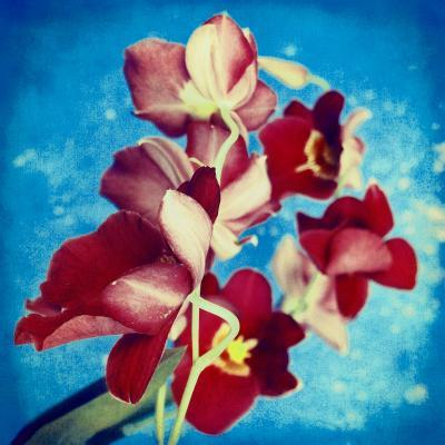 Portrait of Red Miltonia Orchid on Blue Background