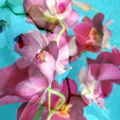 Dreamy Pink Blooming Miltonia Orchid and Phaleaonopsis Infront of Light Blue Backgound