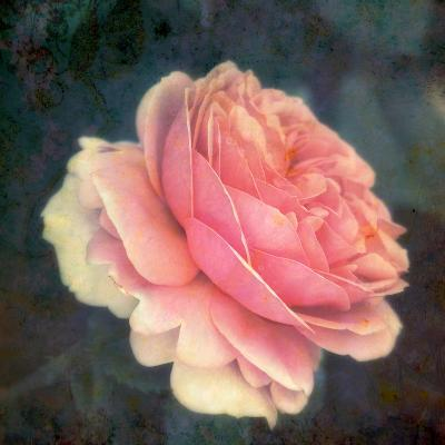 Soft Portrait of Single Apricot Pink Rose