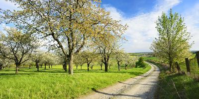 Germany, Saxony-Anhalt, Near Freyburg, Blossoming Cherry Trees at a Country Lane