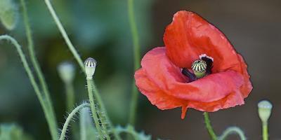 Red Poppy, Blossom, Close-Up