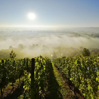 Vineyard, Morning Fog and Sun in the Saale Valley Near Naumburg, Saxony-Anhalt