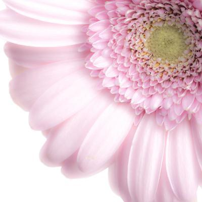 Gerbera in Rose